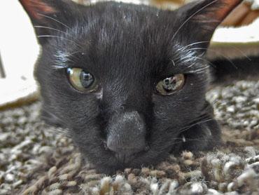 黒猫の長い鼻の画像