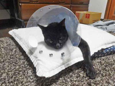エリザベスカラーを付ける猫