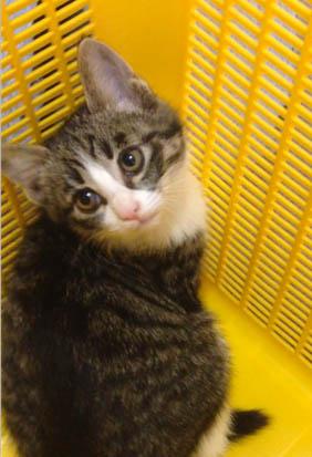 キジシロの子ネコの画像
