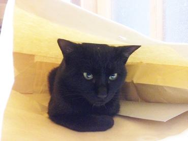 紙袋に入るネコ
