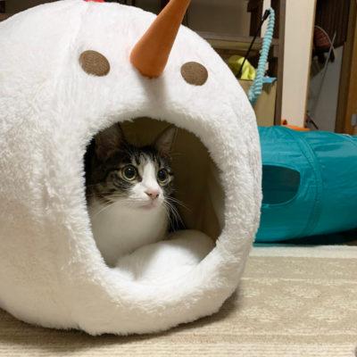 猫ベッドに入るキジシロ猫
