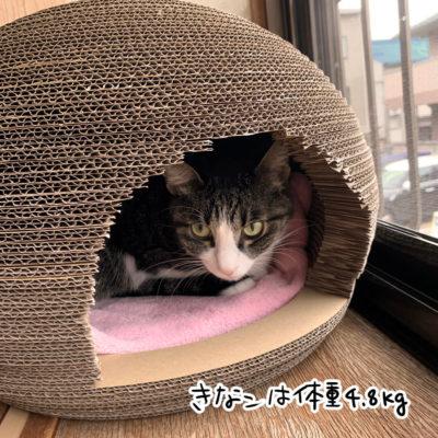 猫のくらで寝るキジシロ猫