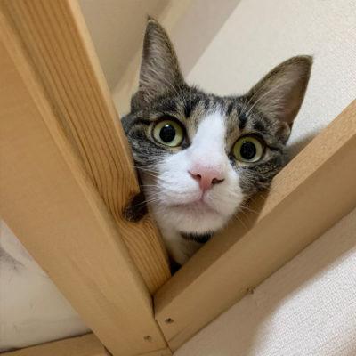 キャットタワーの上から見下げるキジシロ猫