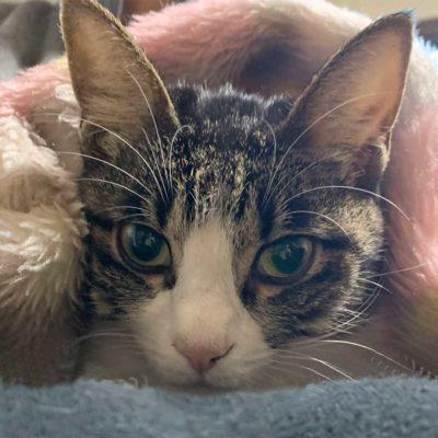 キジシロ猫