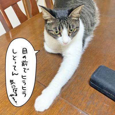 片手伸ばすキジシロ猫のきなこ