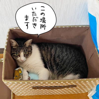 箱の中のキジシロ猫きなこ