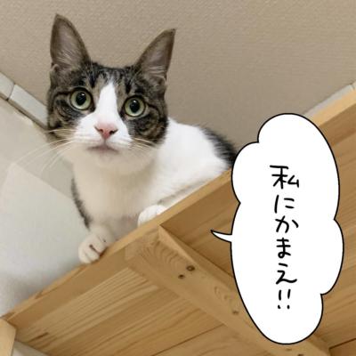 上から見下ろすキジシロ猫のきなこ
