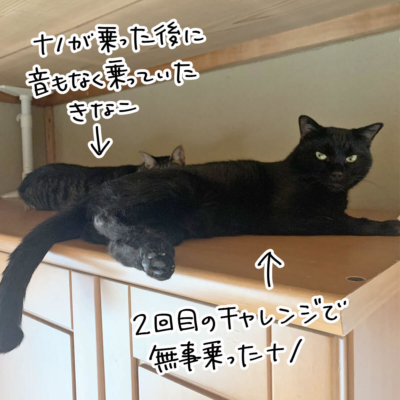タンスの上の黒猫ナノとキジシロ猫のきなこ