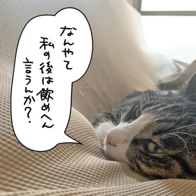 にらむキジシロ猫