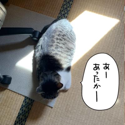 太陽で暖をとるキジシロ猫きなこ