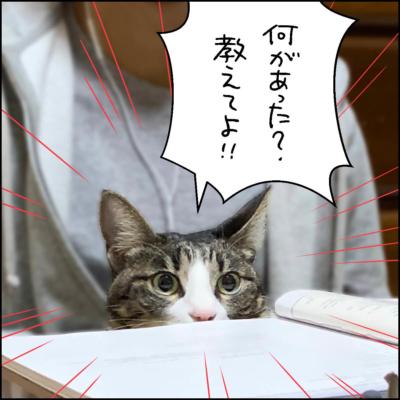 キジシロ猫きなこの写真