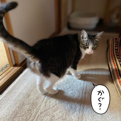 振り向いたキジシロ猫きなこ
