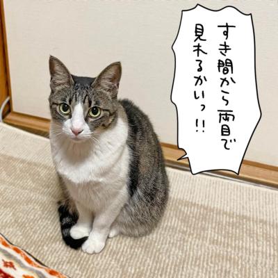 片目で見るキジシロ猫きなこ