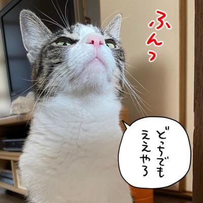 見くだすキジシロ猫きなこ