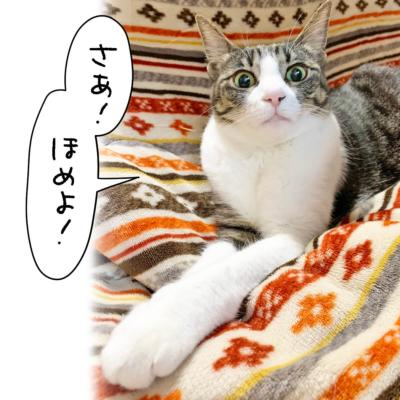 ほめられ待ちのキジシロ猫きなこ