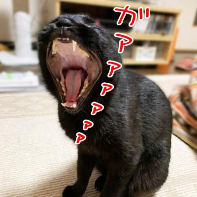 あくびする黒猫ナノ