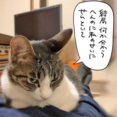 睨みを効かすキジシロ猫きなこ