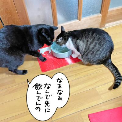 水を飲む黒猫ナノとキジシロ猫きなこ