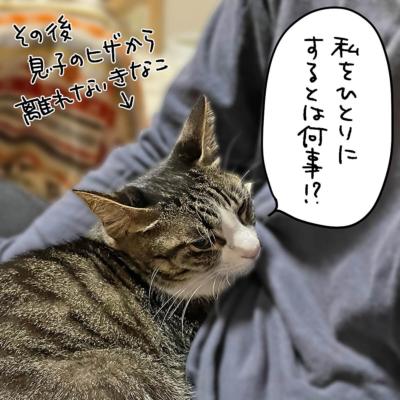 息子の膝に乗るキジシロ猫きなこ