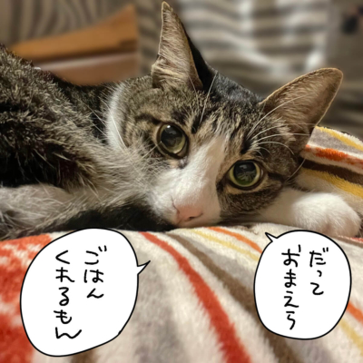 見つめるキジシロ猫きなこ