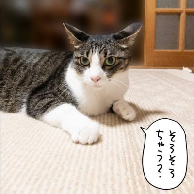 カーペットを嗅ぐキジシロ猫きなこ