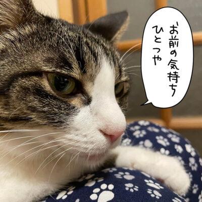 キジシロ猫きなこ